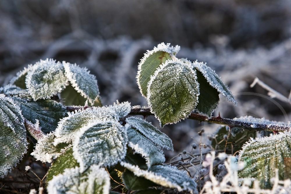 Die Kälte der Nacht hat Brombeerblätter mit Eiskristallen überzogen