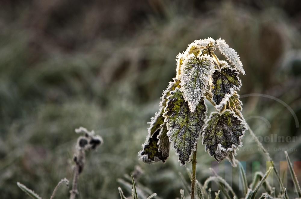 Brennnesselmit Rauhreif - erste Sonnenstrahlen am Morgen treffen auf die verwelkten Blätterf der Pflanze