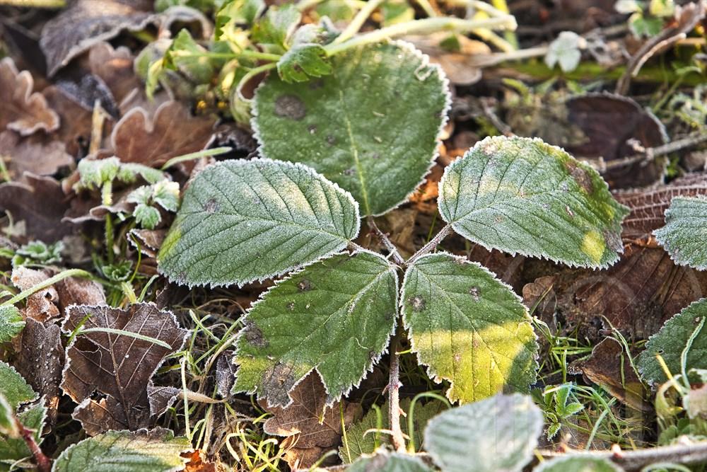 am Boden liegende Blätter mit Eiskristallen, sonnig