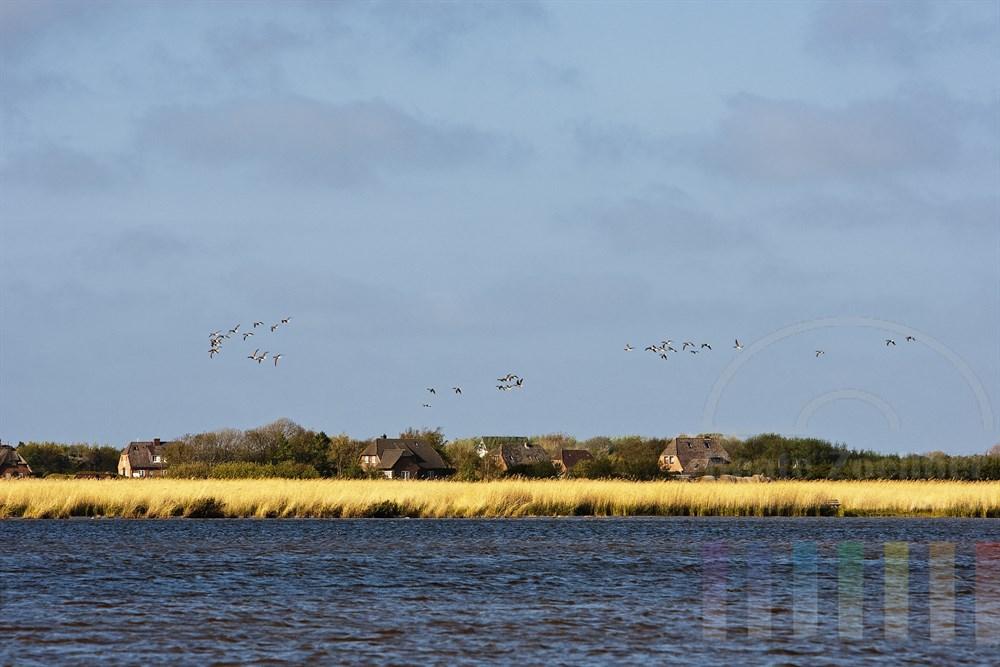 Wildgaense ziehen ueber den Katrevel in Morsum auf Sylt hinweg. Der See am Deich gehoert zu den unbekannten Gegenden auf der Ferieninsel