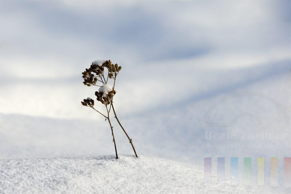 Kleines, verwelktes Pflänzchen lugt aus dichter Schneedecke hervor, sonnig
