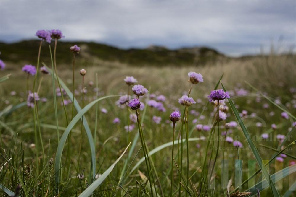 Blühende  Strand-Grasnelke (Armeria maritima) in einem Sylter Dünental