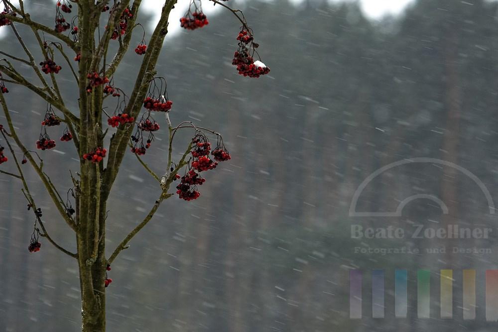 rote Vogelbeeren an einer Eberesche (Sorbus aucuparia) trotzen dem ersten Schneefall