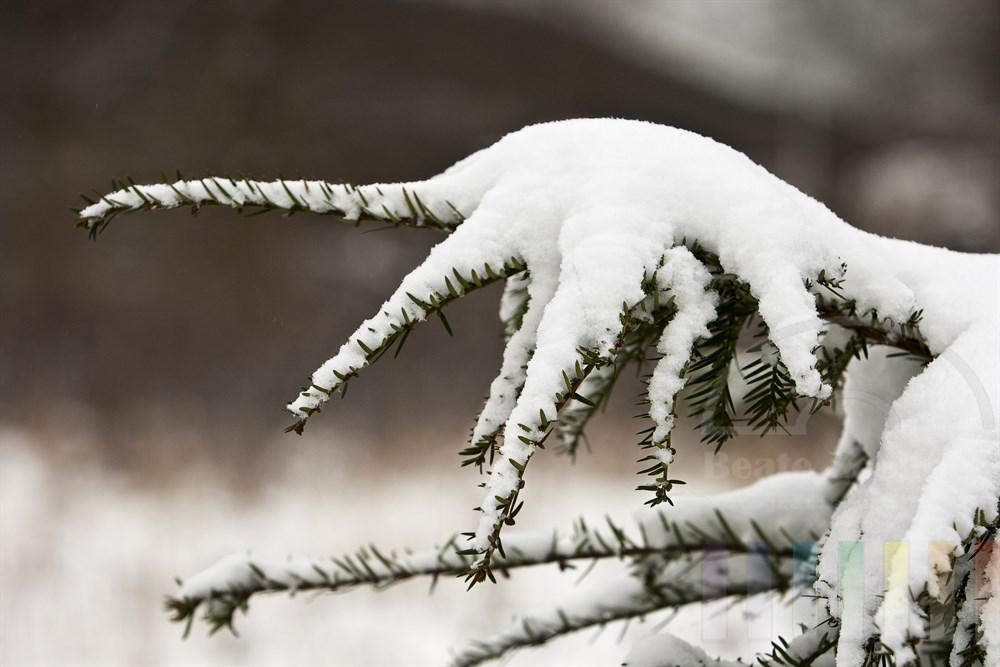 Schnee liegt wie ein Sahnehäubchen auf dem Zweig einer Eibe