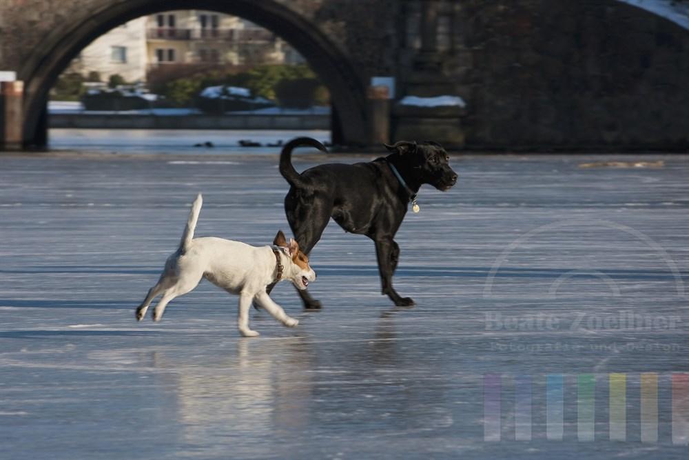 zwei Hunde - ein Jack Russell Terrier und ein schwarzer Labrador-Mischling - toben über das blanke Eis der zugefrorenen Aussenalster in Hamburg