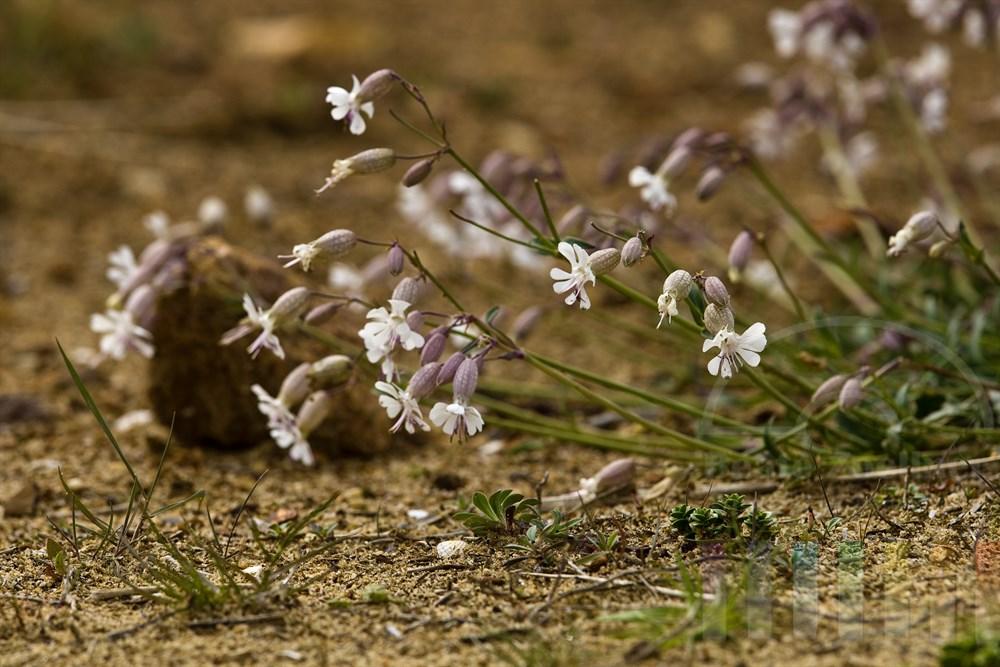 blühendes Taubenkropf-Leimkraut (Silene vulgaris) am Fusse des Morsumkliffs auf der Insel Sylt