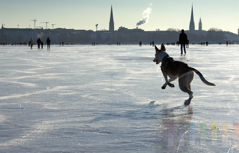 Hund spurtet voller Elan über das Eis der zugefrorenen Aussenalster in Hamburg - im Hintergrund die Silhouette der Stadt