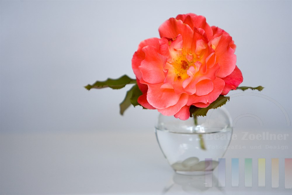 Freisteller: Rosenblüte in kleiner Glasvase