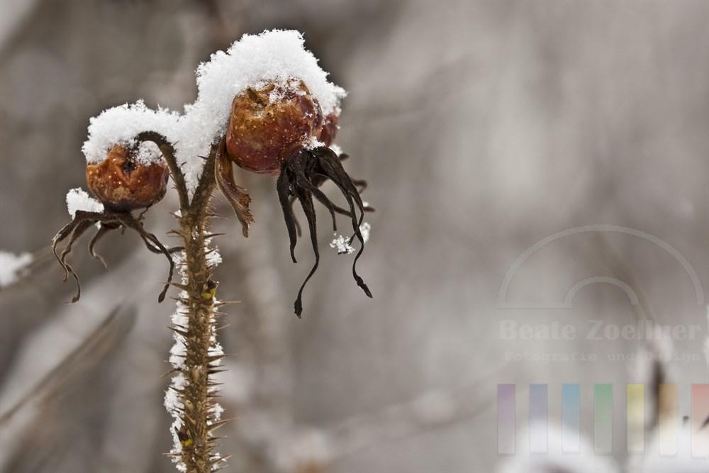 Hagebutten an einem Wildrosenstrauch mit Schneehauben