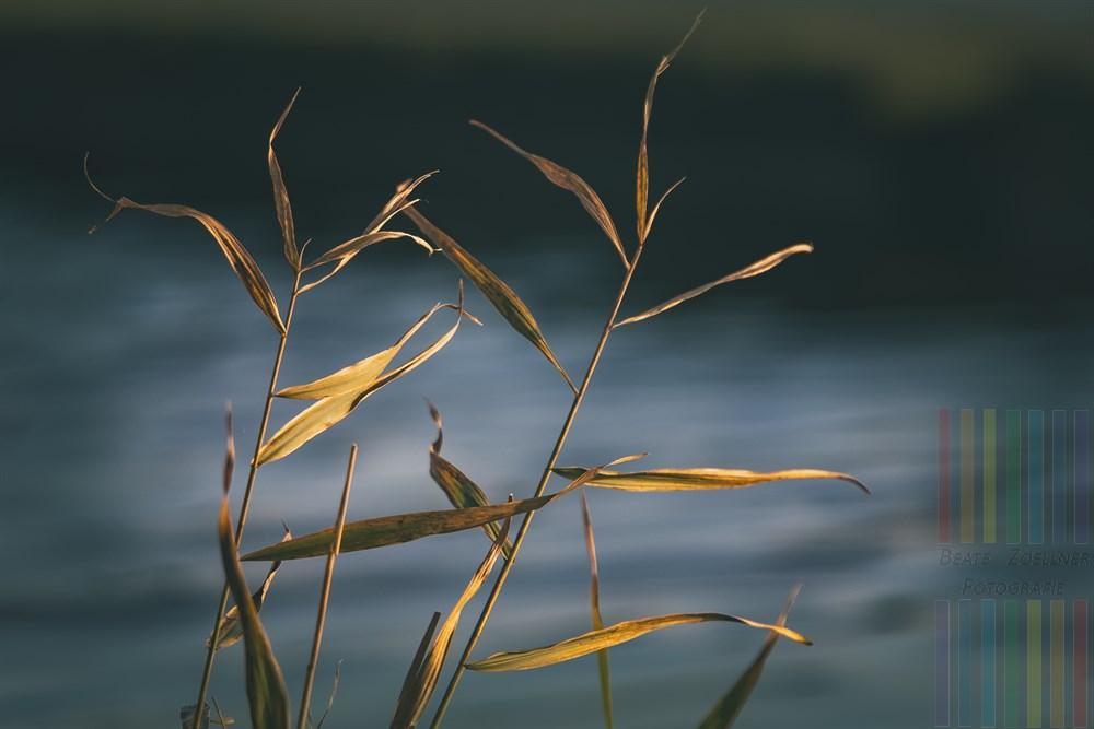Welkende Schildhalme leuchten im Licht der tiefstehenden Herbstsonne. Im Hintergrund schimmert das Wasser eines Sielzuges in Morsum/Sylt
