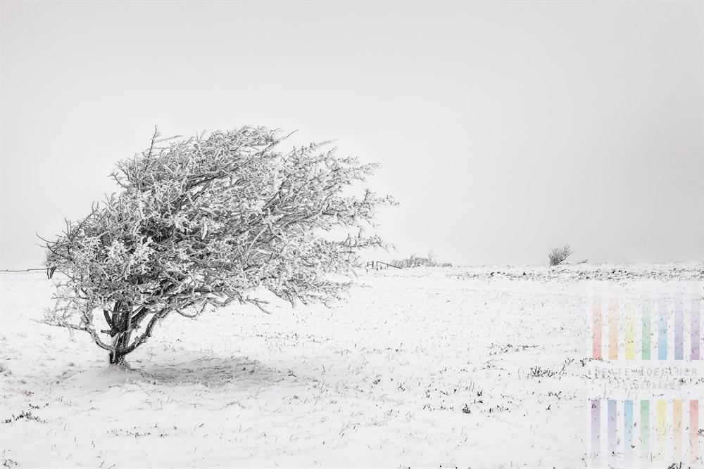 Nebel, Schnee und Frost lassen den von Wind und Wetter gebeugten Weißdorn-Busch in der Braderuper Heide auf Sylt wirken, als sei er überzuckert