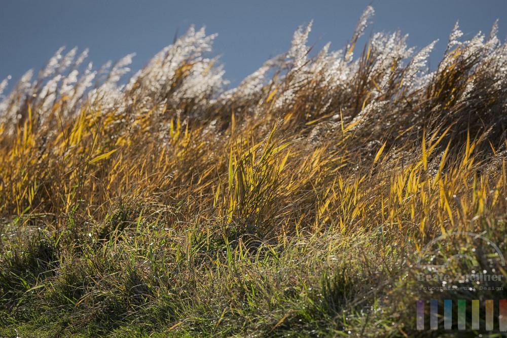Herbstfarbene Gräser und Schilf wiegen sich im Wind