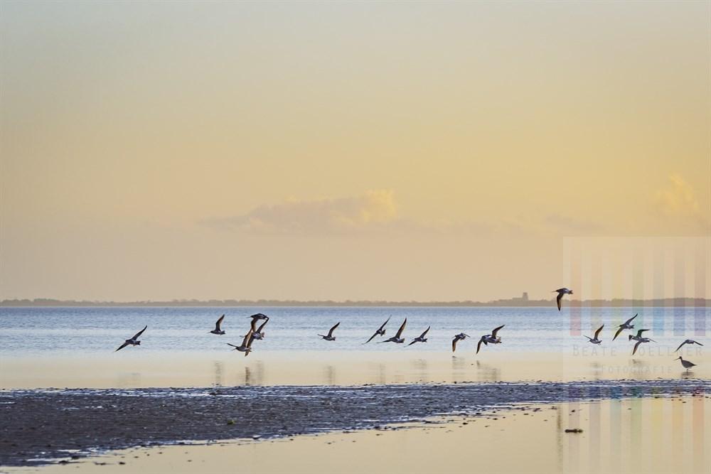 Austernfischer und Uferschnepfen fliegen vom Sylter Watt an der Blidselbucht auf, Abendstimmung