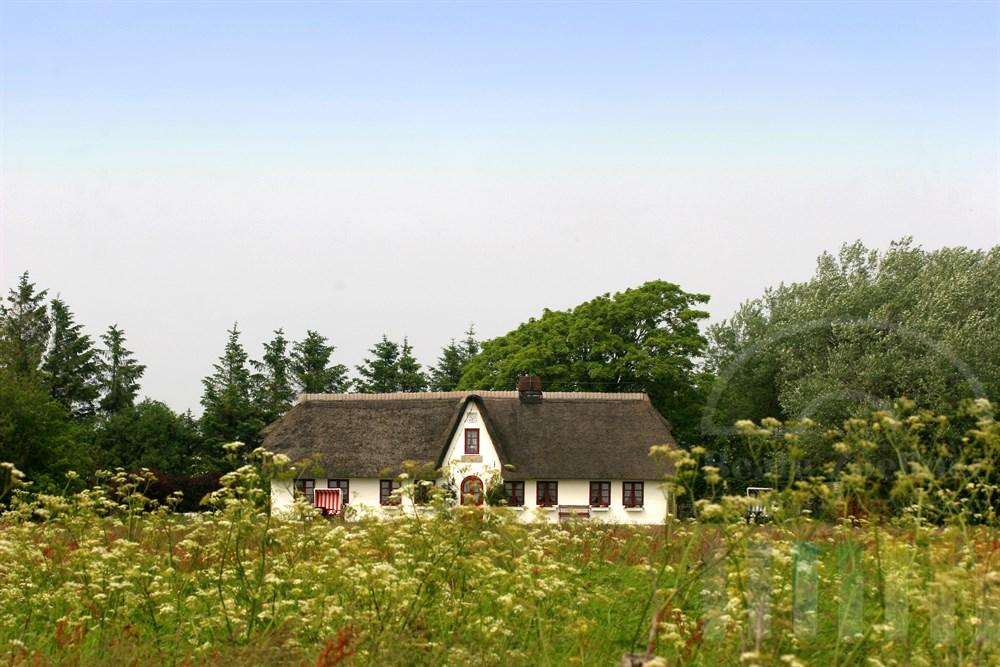 weißes, reetgedecktes Friesenhaus steht in bluehender Wiese vor windschiefen Baeumen
