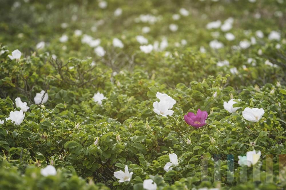 Wild wachsende Kamtschatka-Rosen (Rosa rugosa) in einem Sylter Dünental. Nur eine einzige Blüte ist im typischen Rosa, alle anderen blühen weiß