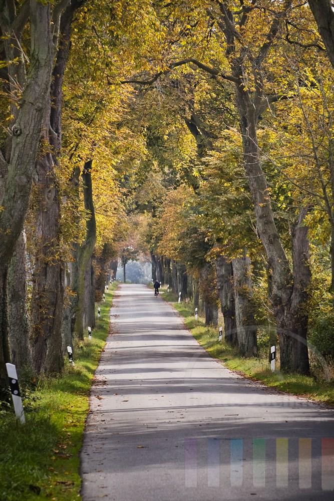 Kastanien-Allee im Herbstlaub mit einsamen Radfahrer bei Margarethenhof (Kreis Segeberg, Schleswig-Holstein)