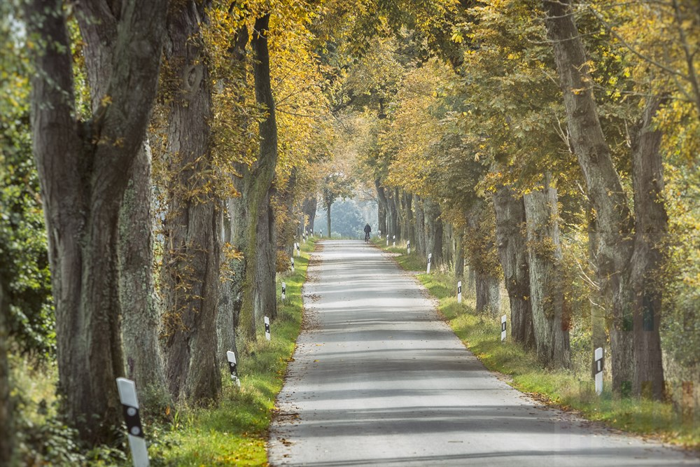 Kastanien-Allee mit  einsamen Radfahrer im Herbstlaub bei Margarethenhof (Kreis Segeberg, Schleswig- Holstein)