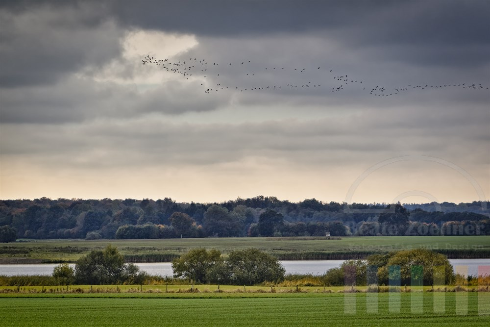 Herbstliche Landschaft am Wardersee bei Pronstorf (Kreis Segeberg, Schleswig-Holstein) mit hunderten ziehender Wildgänse am Wolkenhimmel