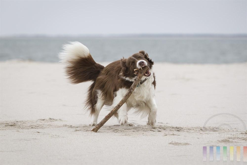 Hund der Rasse Border Collie tobt und spielt mit einem gefundenen Stock am Nordsee-Strand - die Verletzungsgefahrt ist dabei groß!