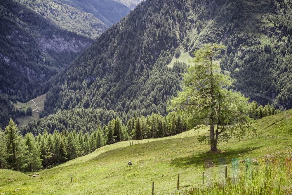 Einzelne Lärche steht von der Sonne beschienen auf einer Alm am Rande der Großglockner Hochalpenstraße, Höhe Schöneck. Im Hintergrund Berghänge mit Nadelwald