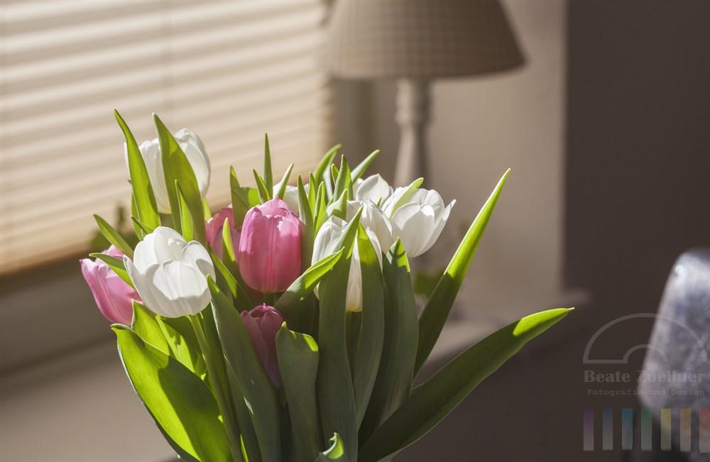 Rosa und weiß blühende Tulpen stehen als Strauss in einer Vase in einem Zimmer. Die Frühlingssonne lässt sie leuchten