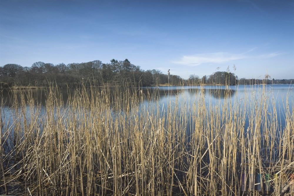 Schilfgürtel am Ufer des Lütjensees im Kreis Storman (Schleswig-Holstein) in der Frühlingssonne