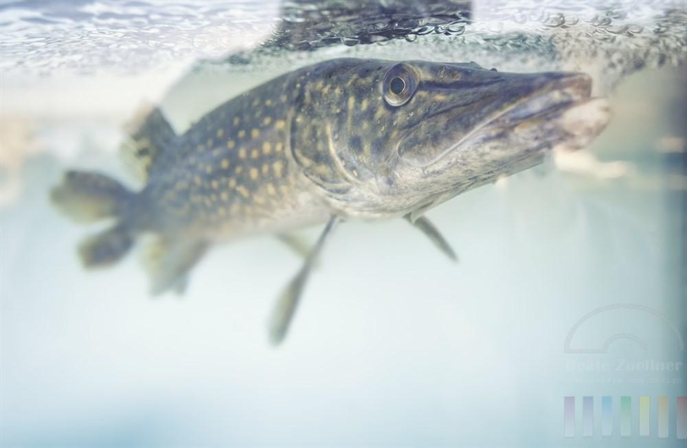 Hecht (Esox lucius) im gläsernen Becken eines Fischrestaurants und stößt immer wieder gegen die Scheibe