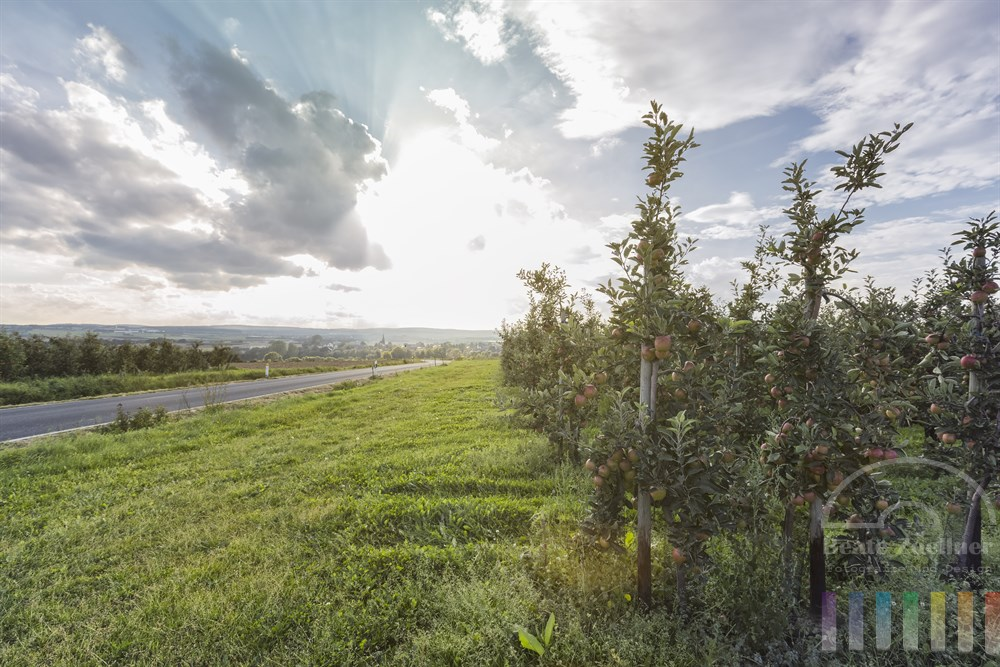 Apfel-Plantagen mit reifen Früchten im Landkreis Ahrweiler, Rheinland Pfalz, sonniges Gegenlicht