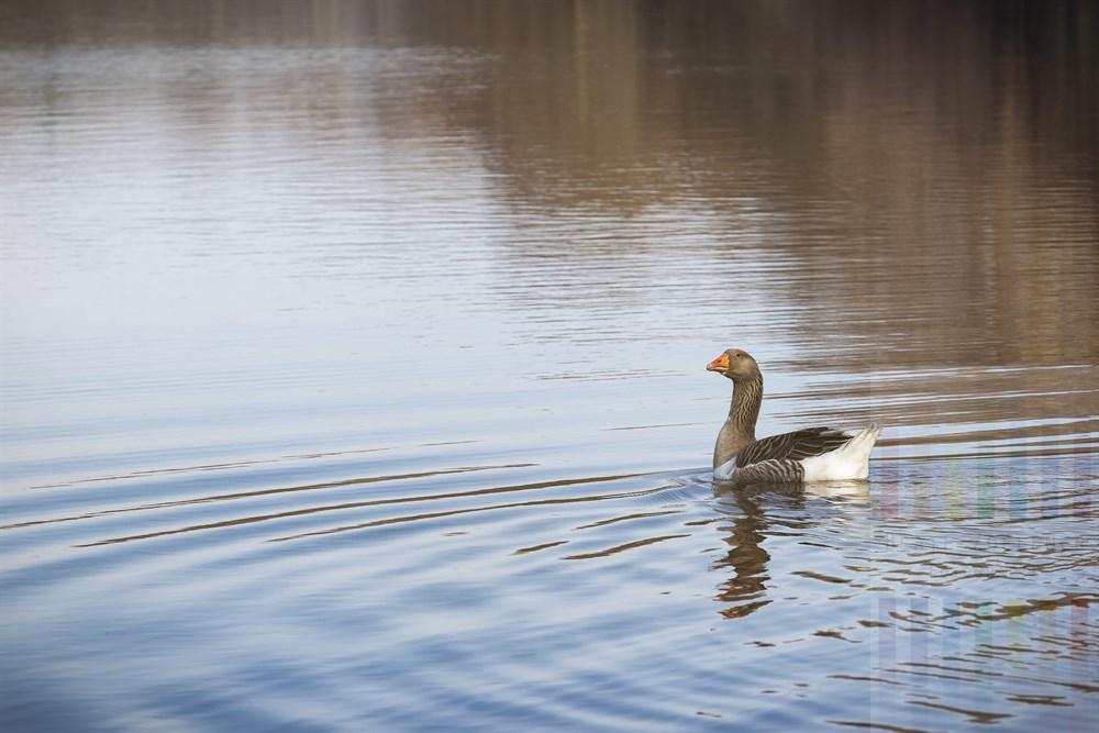 Wildgans schwimmt auf dem Lütjensee im Sonnenschein, schaut sich neugierig um und blickt direkt in die Kamera