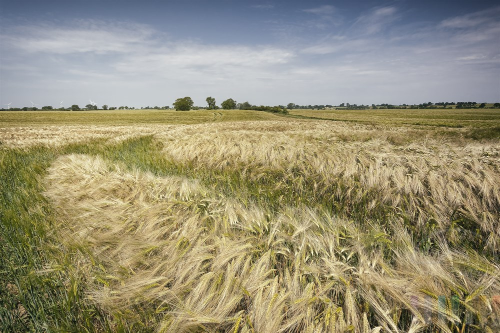 Im leichten Wind wogende Gersten-Ähren in einem riesigen Getreidefeld in der Nähe von Gut Salzau, frühsommerlich-sonnig