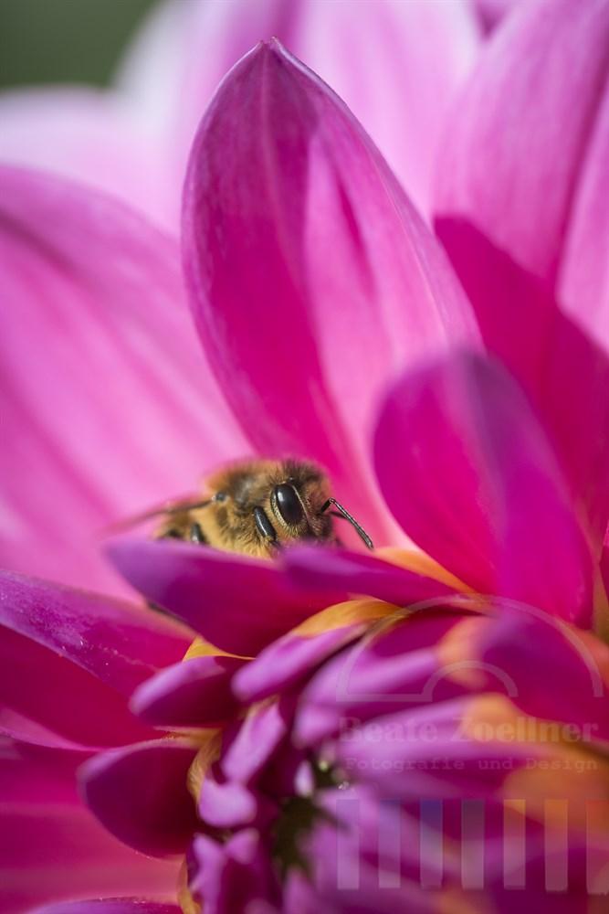 Biene zwischen den Blütenblättern einer pinkfarbenen Dahlie, Makro