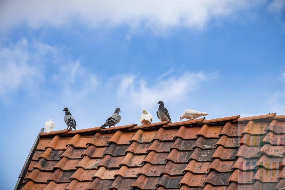 Sechs Brieftauben sitzen auf einem alten Dachfirst: Drei mit weißem Gefieder und drei mit grauem Federkleid