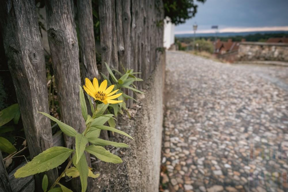 Blüte einer Stauden-Sonnenblume mogelt sich durch einen Staketenzaun - Kleinod auf dem Münzenberg in Quedlinburg