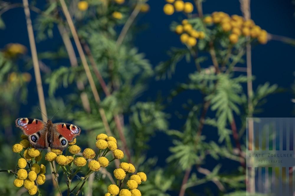 Schmetterling der Art Tagpfauenauge sitzt mit ausgebreiteten, bunten Flügeln auf den gelben Blütenständen des Rainfarns (Tanacetum vulgare) und tankt die Strahlen der Spätsommer-Sonne. Im Hintergrund der Oderteich bei Braunlage-St. Andreasberg