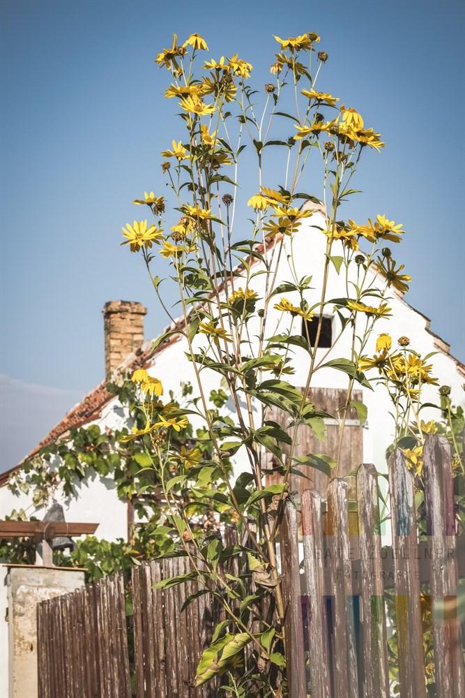 Blühende Staudensonnenblume (Helianthus atrorubens) steht an einem hölzernen, Gartenzaun und wächst hoch in den blauen Spätsommerhimmel. Im Hintergrund der Giebel eines alten Hauses