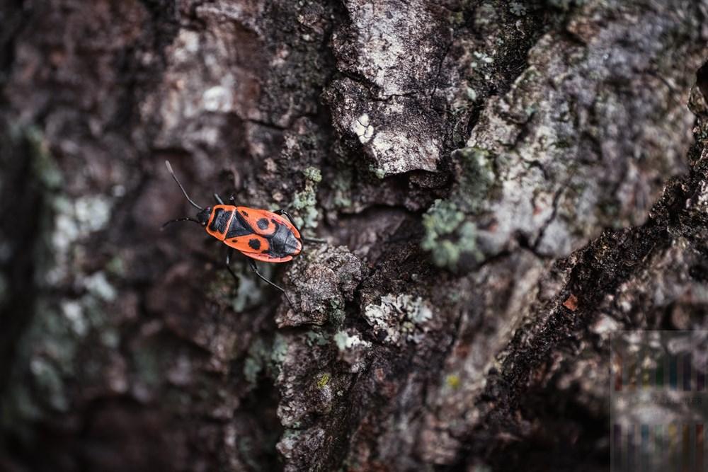 Feuerwanze (pyrrhocoris apterus) auf Baumrinde. Das Tier wird auch Maskenkäfer genannt weil die Zeichnung auf seinem Rücken an afrikanische Masken erinnert