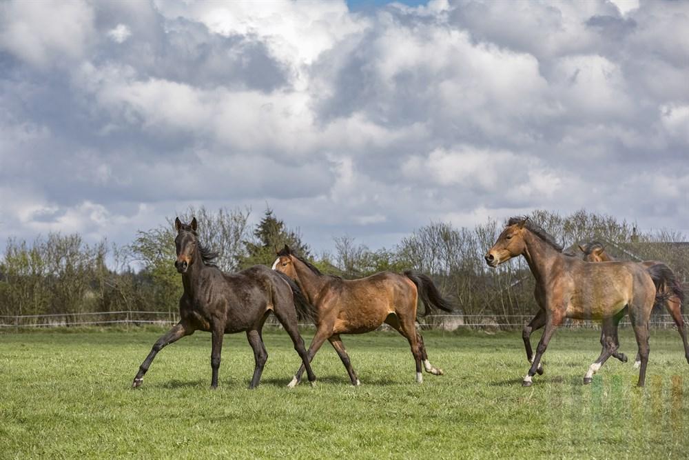 Junge Pferde tobem auf Frühlingsweide im Sonnenschein