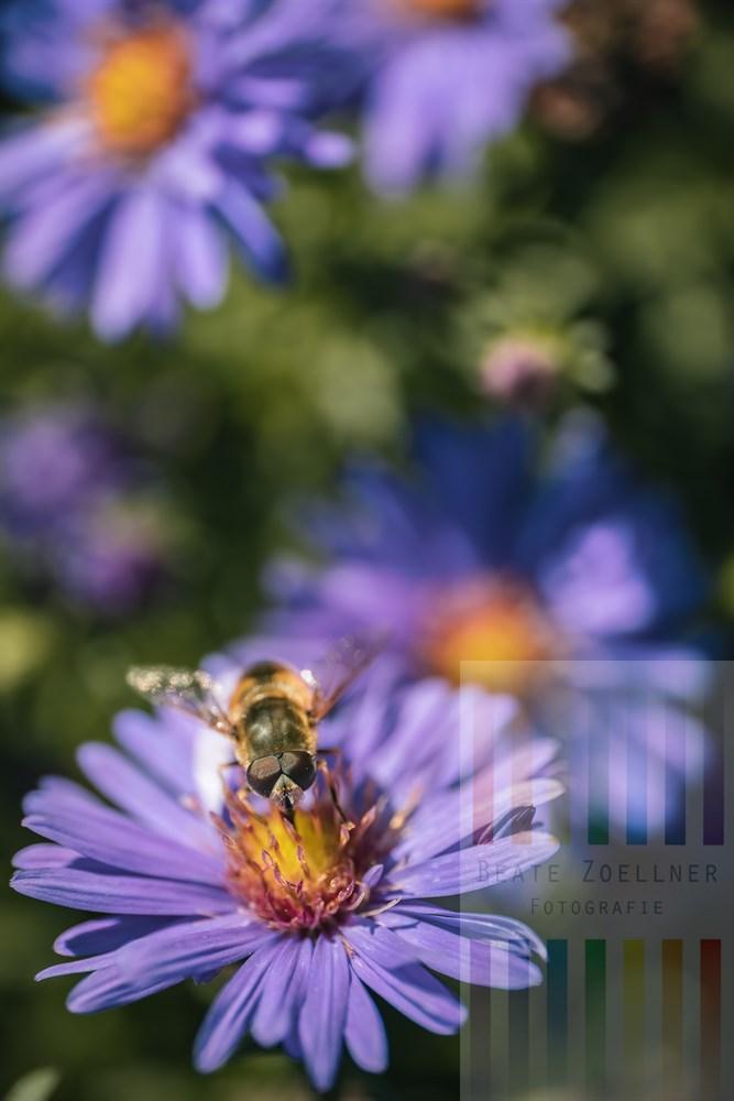 Schwebfliege auf lilafarbener Herbstaster