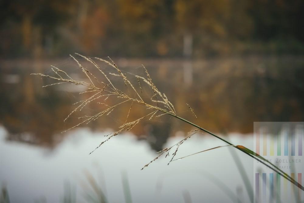 Ruhige Herbststimmung am Manhagener Teich im Kreis Stormarn (Schleswig-Holstein), ein verblühte und mit Spinnenfäden verzierter Schilfhalm ragt diagonal ins Bild