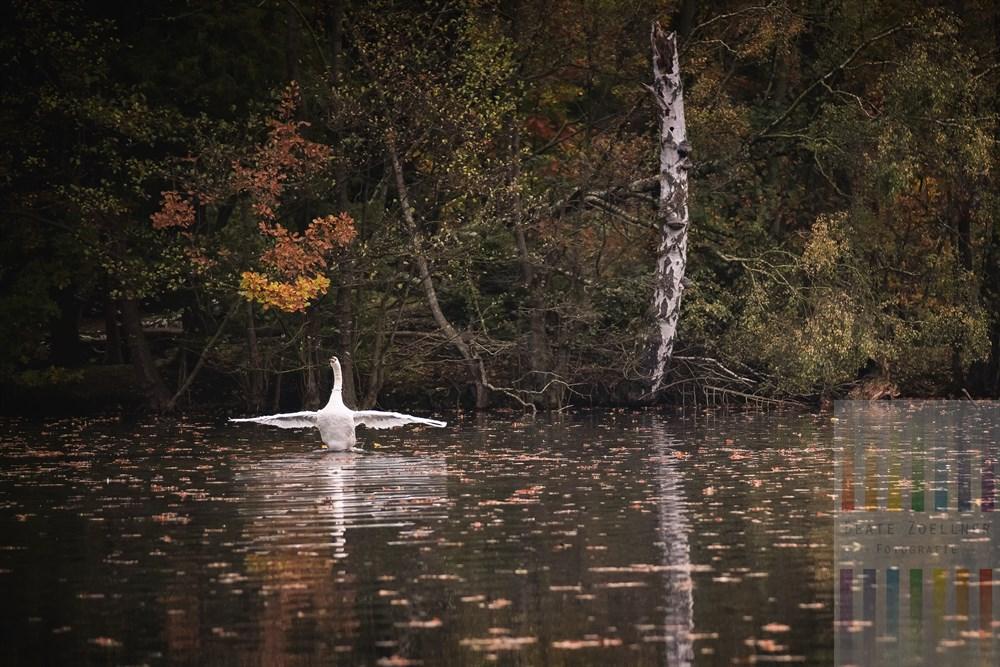 Ein Schwan posiert am frühen Morgen am herbstlichen Manhagen-Teich in Großhansdorf. Am Ufer eine vom letzten Sturm zerstörte Birke