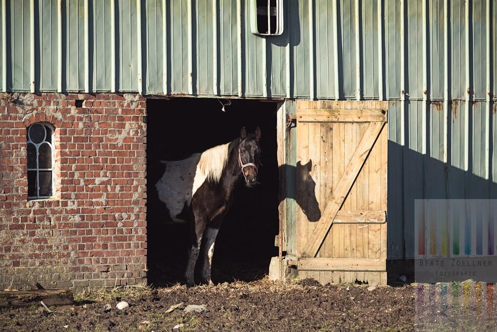 Landleben in der Hattstedter Marsch (Nordfriesland): Geschecktes Pferd steht in geöffneter Stalltür und schaut neugierig Richtung Kamera, sonnig
