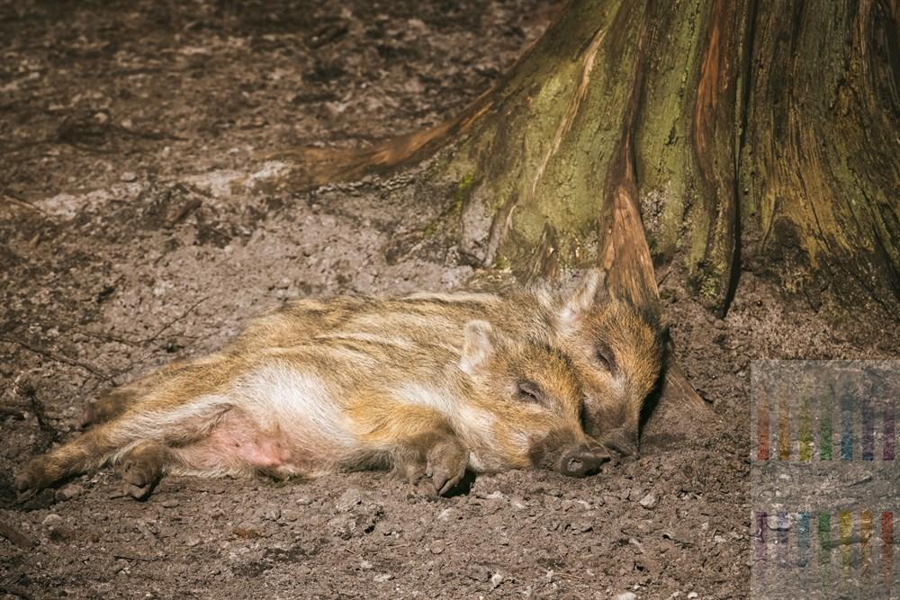 Zwei Wildschwein-Frischlinge liegen aneinander gekuschelt auf dem Waldboden im Wildgehege im Forst Klövensteen (Hamburg-Rissen) und lassen sich die Märzsonne auf den Bauch scheinen
