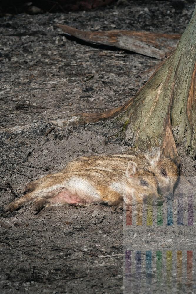 Zwei Wildschwein-Frischöinge liegen schlafend und aneinander geschmiegt in der Frühlingssonne auf dem Boden ihres Geheges im Forst Klövensteen