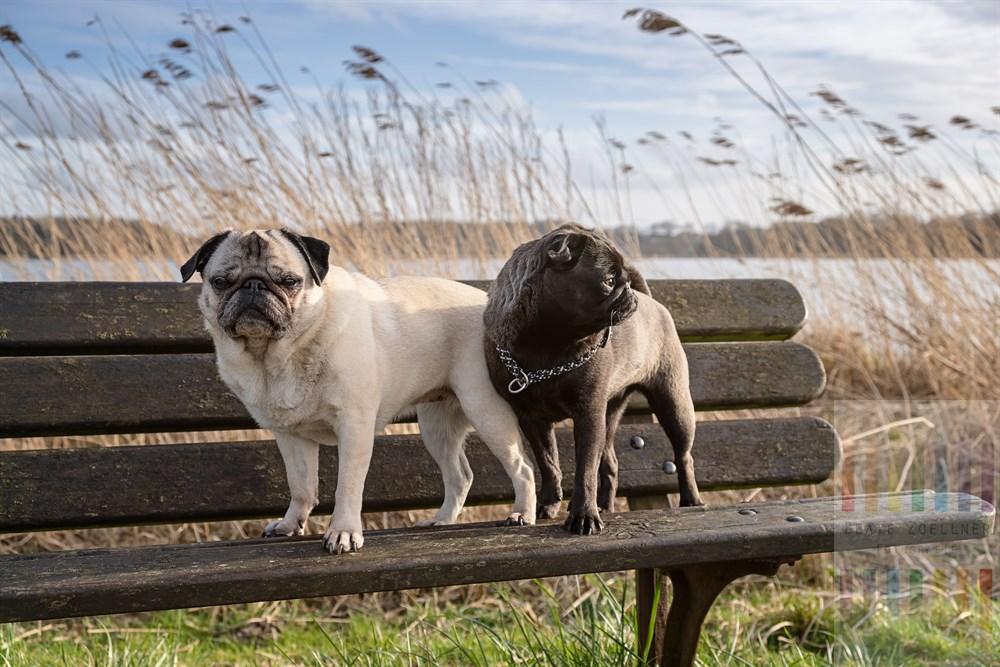 Eine alte (beige, 10 Jahre) und eine junge Mops-Hündin (silbergrau, 9 Monate) stehen auf einer Parkbank. Im Hintergrund Schilf an einem Seeufer