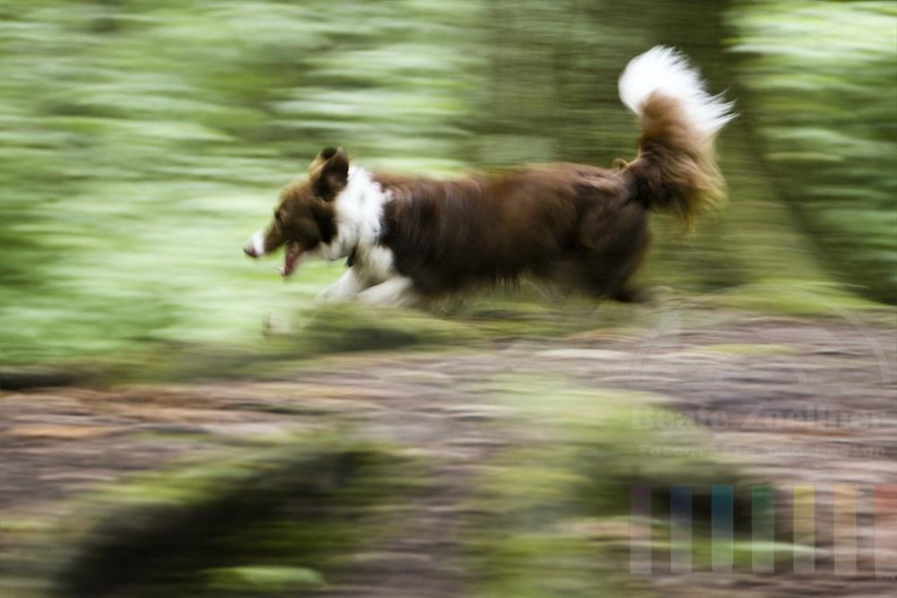 freilaufender Hund (Border Collie) hetzt durch einen Wald - bewegungsunscharf