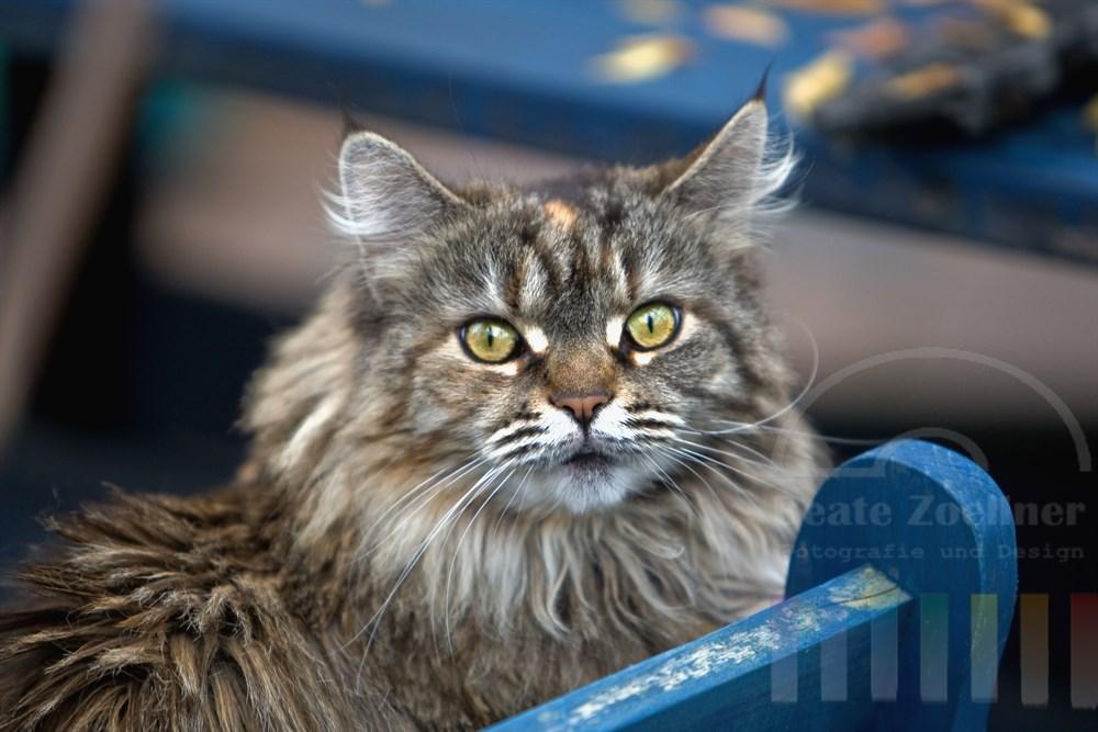 Portrait Maine Coon Katze (weiblich)