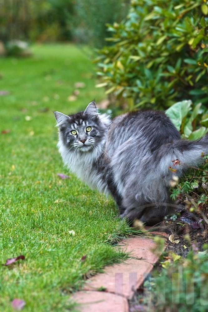 Maine Coon Katze im herbstlichen Garten