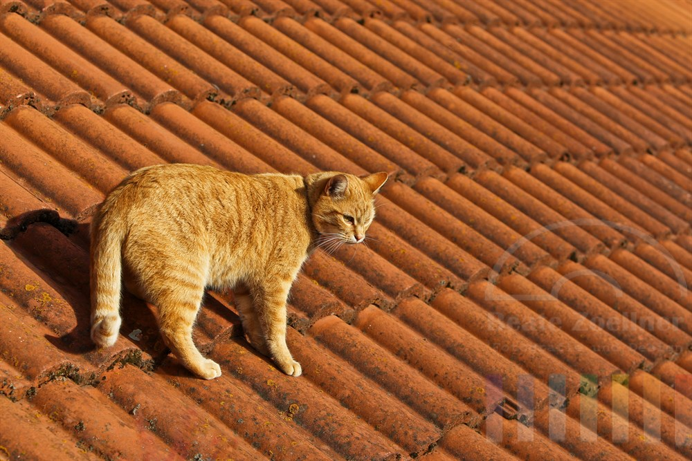 gelb getigerte Katze steht auf einem Ziegeldach und schaut in die Tiefe