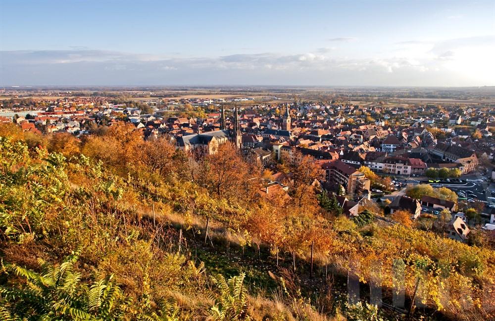 Blick vom Schenkenberg und die Weinstöcke auf das herbstliche Obernai im Elsass. Vorne die Kirche Saints-Pierre-et-Paul (Peter- und Paul-Kirche)