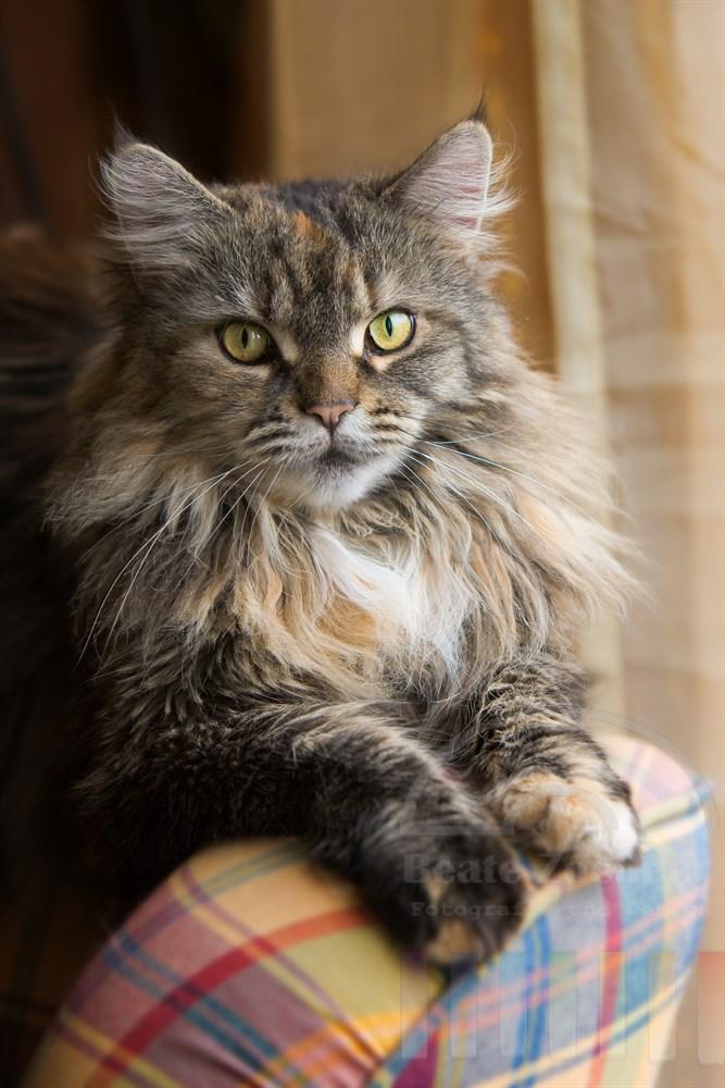 Maine Coon Katze (weiblich) hat es sich auf einer Sessellehne am Fenster bequem gemacht